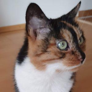 Dreifarbige Katze zuckerkrank